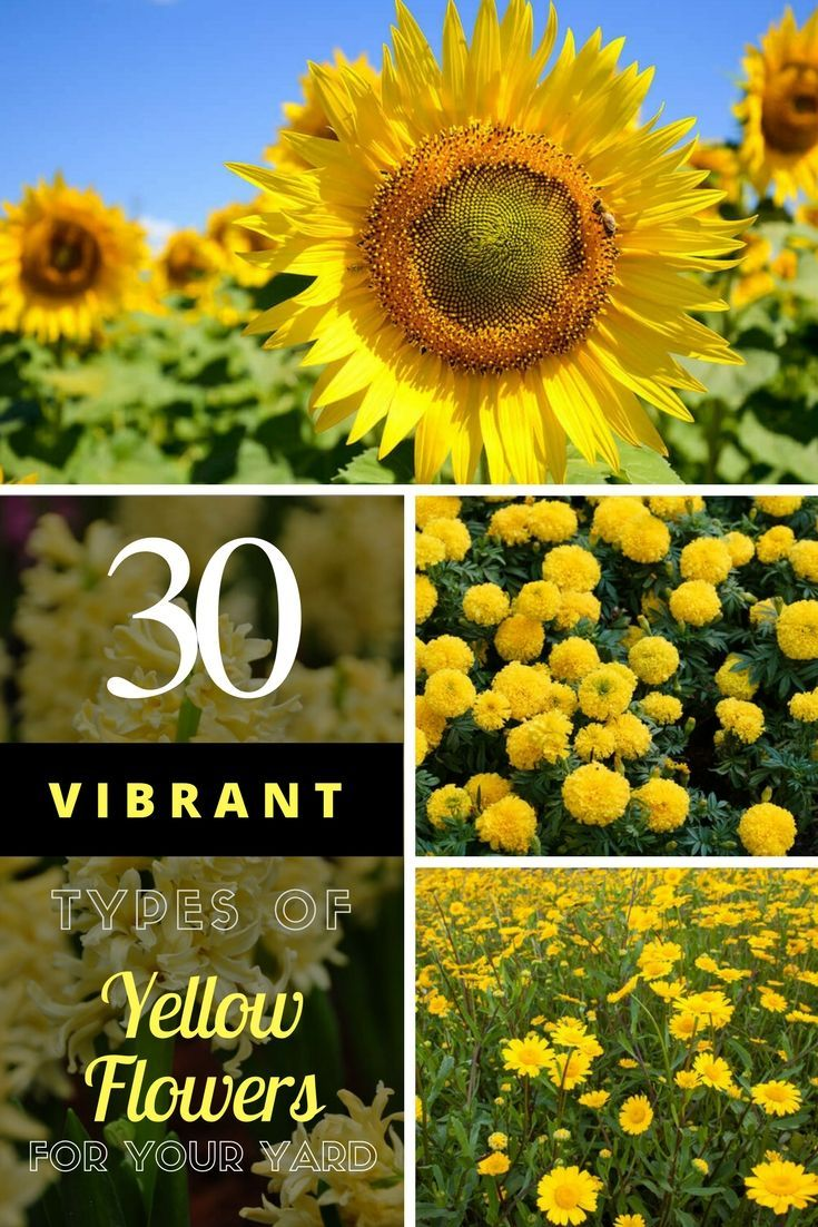 30 vibrant types of yellow flowers for your yard a to z plants collage of different types of yellow flowers for the garden yellowflowers flowers gardening homestratosphere mightylinksfo