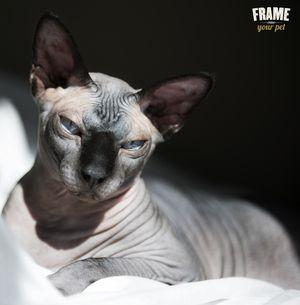 hairless cat, sphynx, grey cat, cat photography, cat photorgrapher