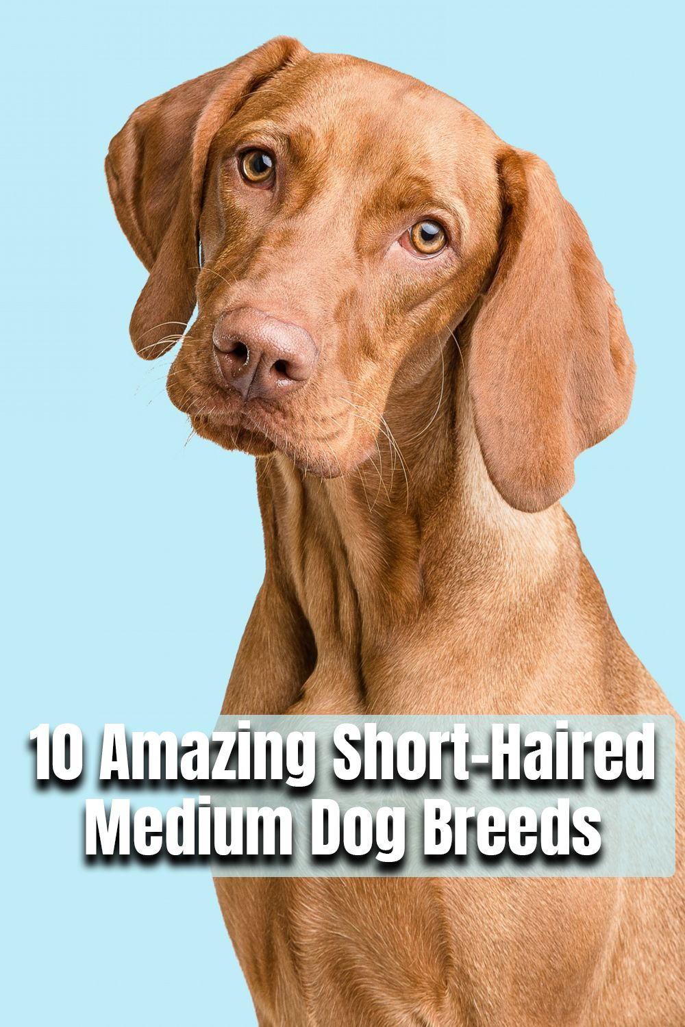 10 Amazing Short Haired Medium Dog Breeds That Are Low Maintenance In 2020 Dog Breeds Medium Dog Breeds Medium Sized Dogs Breeds