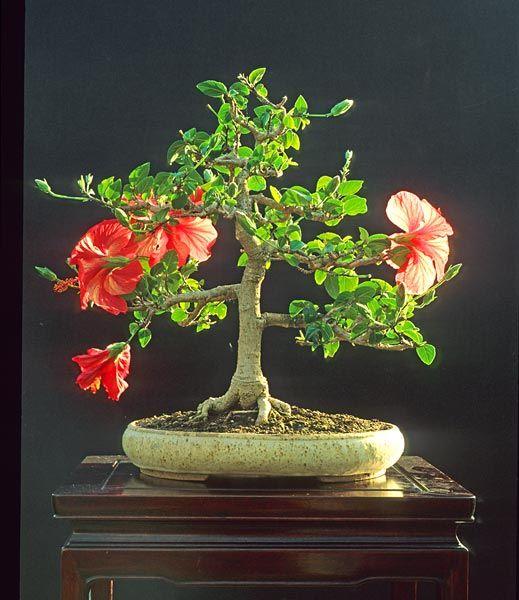 Bonsai Gallery Of Walter Pall Ǜ†æ½ Ïイビスカス ßニ盆栽