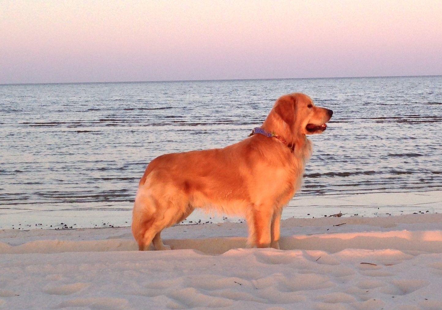 2014 Bay St Louis Ms Choosing A Dog Retriever Puppy Dogs