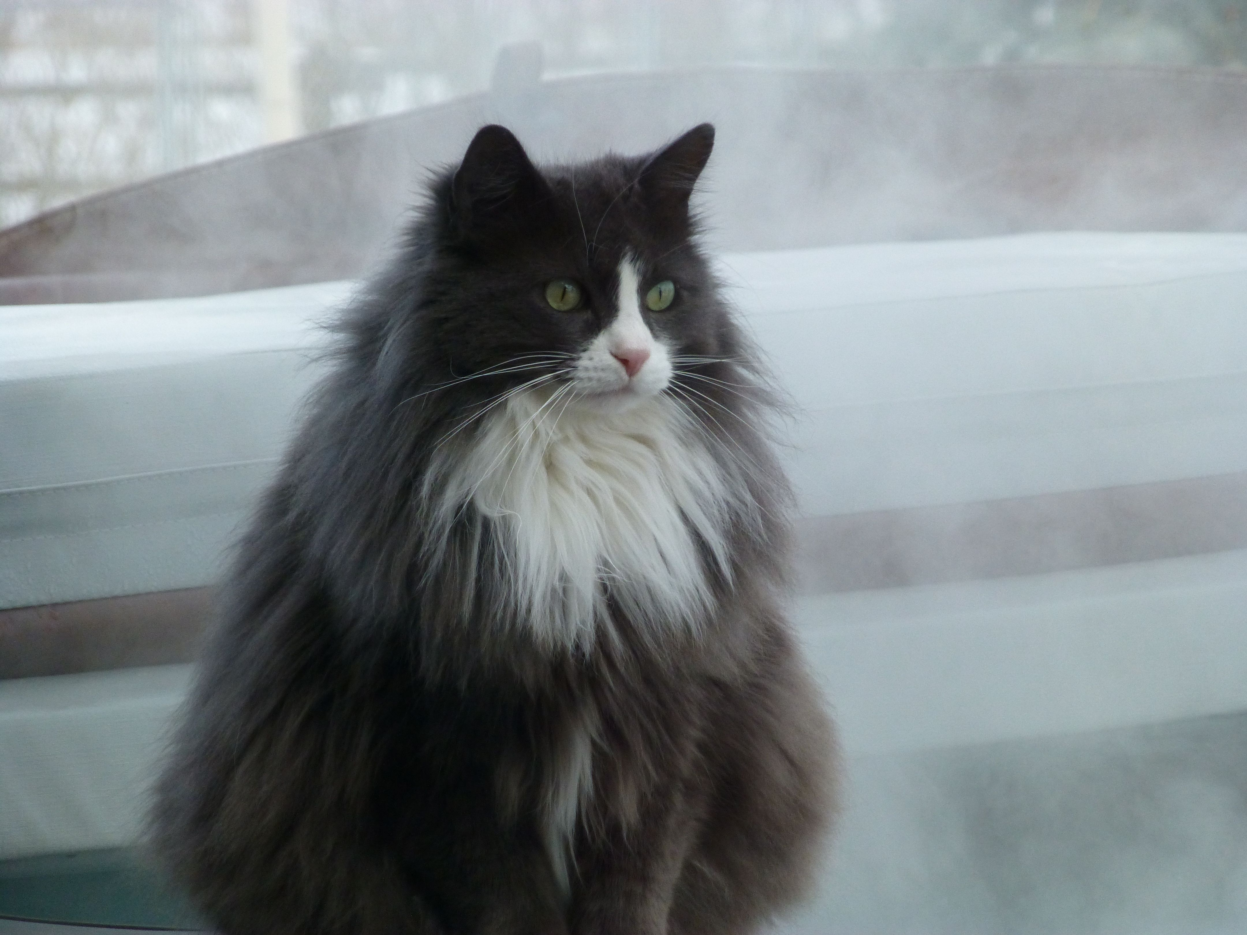 Gray And White Tuxedo Cat In Snow With Hot Tub Steam Beauty Animals Animals Tuxedo Cat