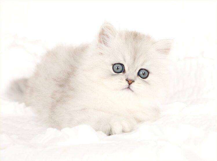 Dreamweaver Persian Kitten Persian Kittens Cats Kittens Beautiful Kittens