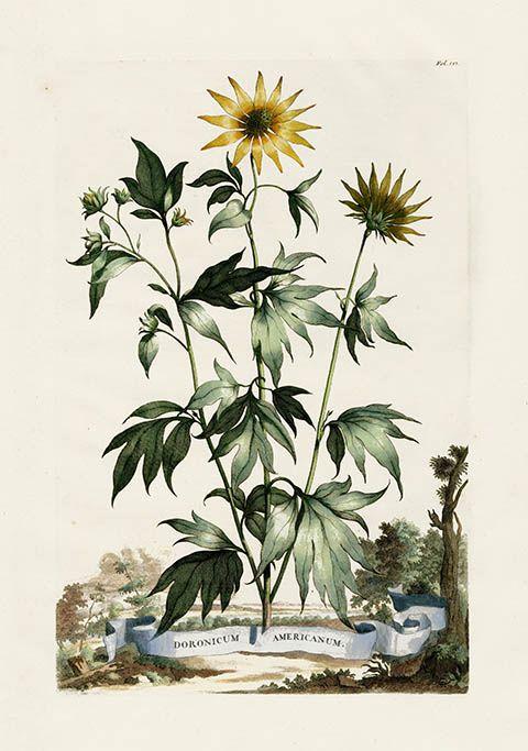Abraham Munting Hand-Colored Botanical Prints 1696