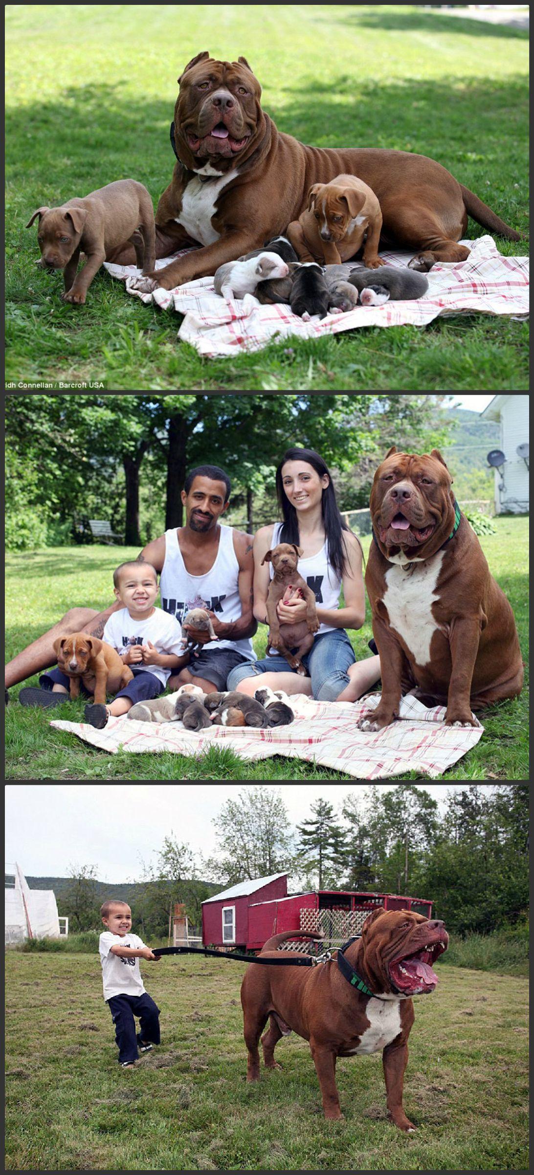 Worlds Largest Pitbull Hulk Fathers Eight Adorable Puppies Worth