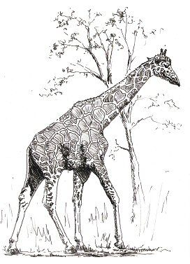 real giraffe coloring pages - photo#17