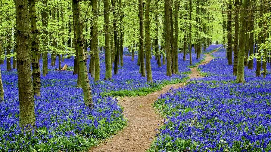 through the bluebells Thiên nhiên