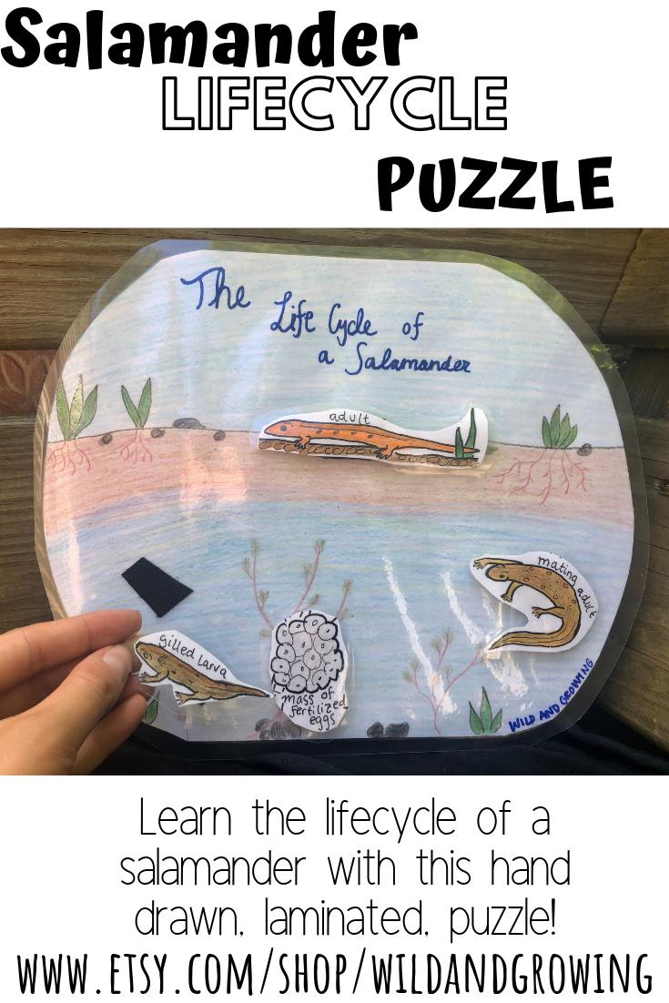 Hand Drawn, Laminated, Salamander Life Cycle Puzzle How