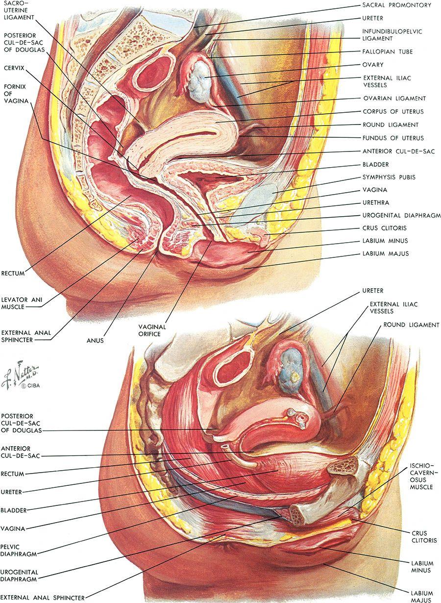 Netter On Anatomy In 2020 Medical Anatomy Medical Illustration Medical School Studying