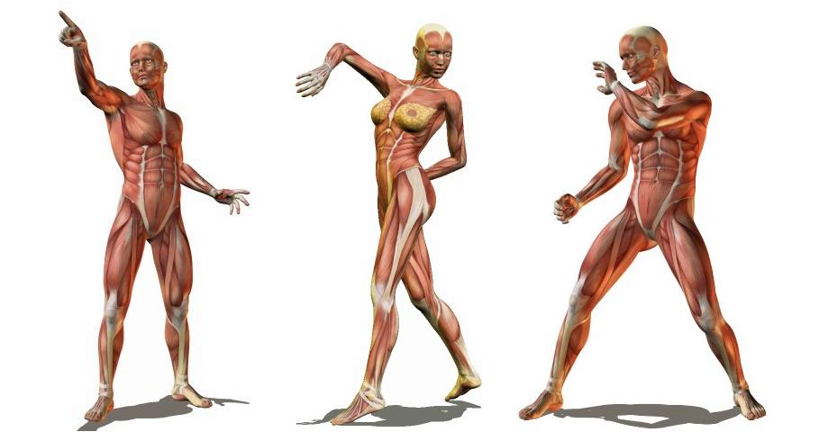Ejemplos de referencias en Posemaniacs | Anatomía (Músculos) en 2018 ...