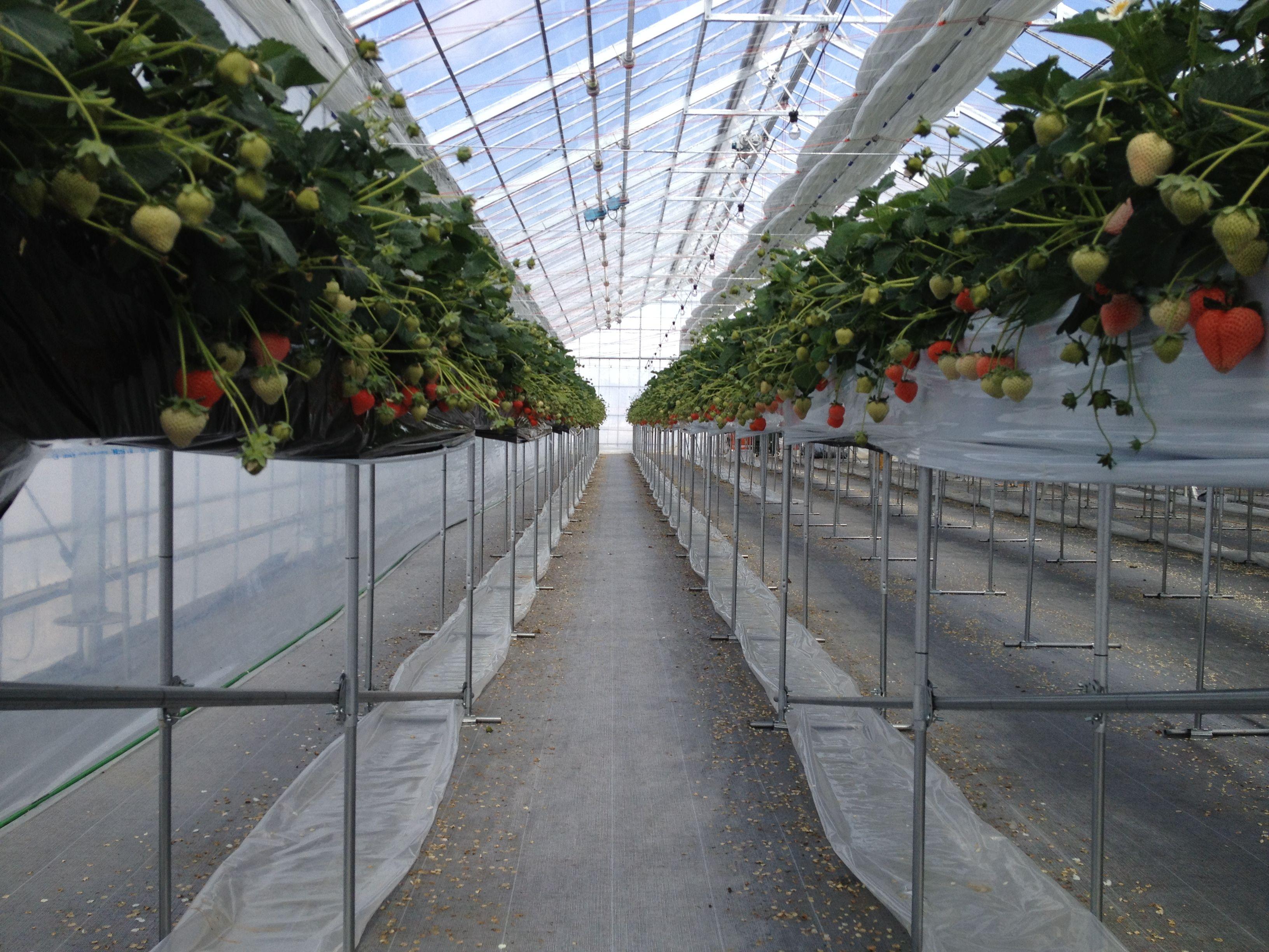 宮城県大崎市鹿島台にある、いちご倶楽部農園では、最新の水耕栽培設備にて桃薫いちごを栽培しております。