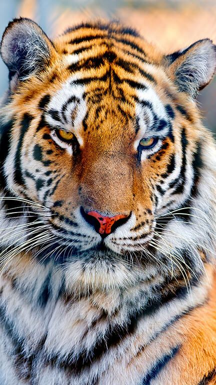 Majestic Tiger iPhone Background ... | Tiger wallpaper iphone, Tiger