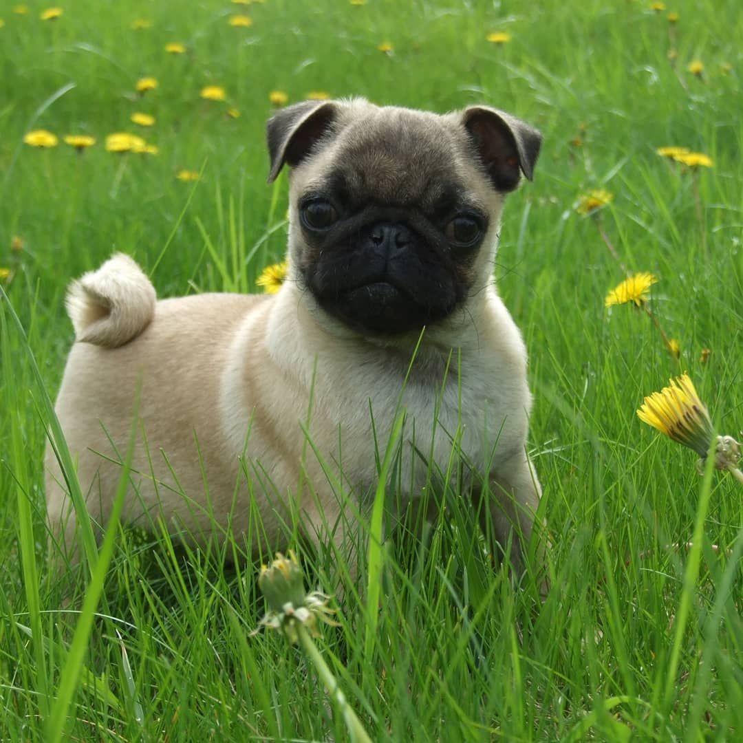 Pugdogs Pugdogs Pugdogsofinstagram Pugworld Pugs Pugsdaily