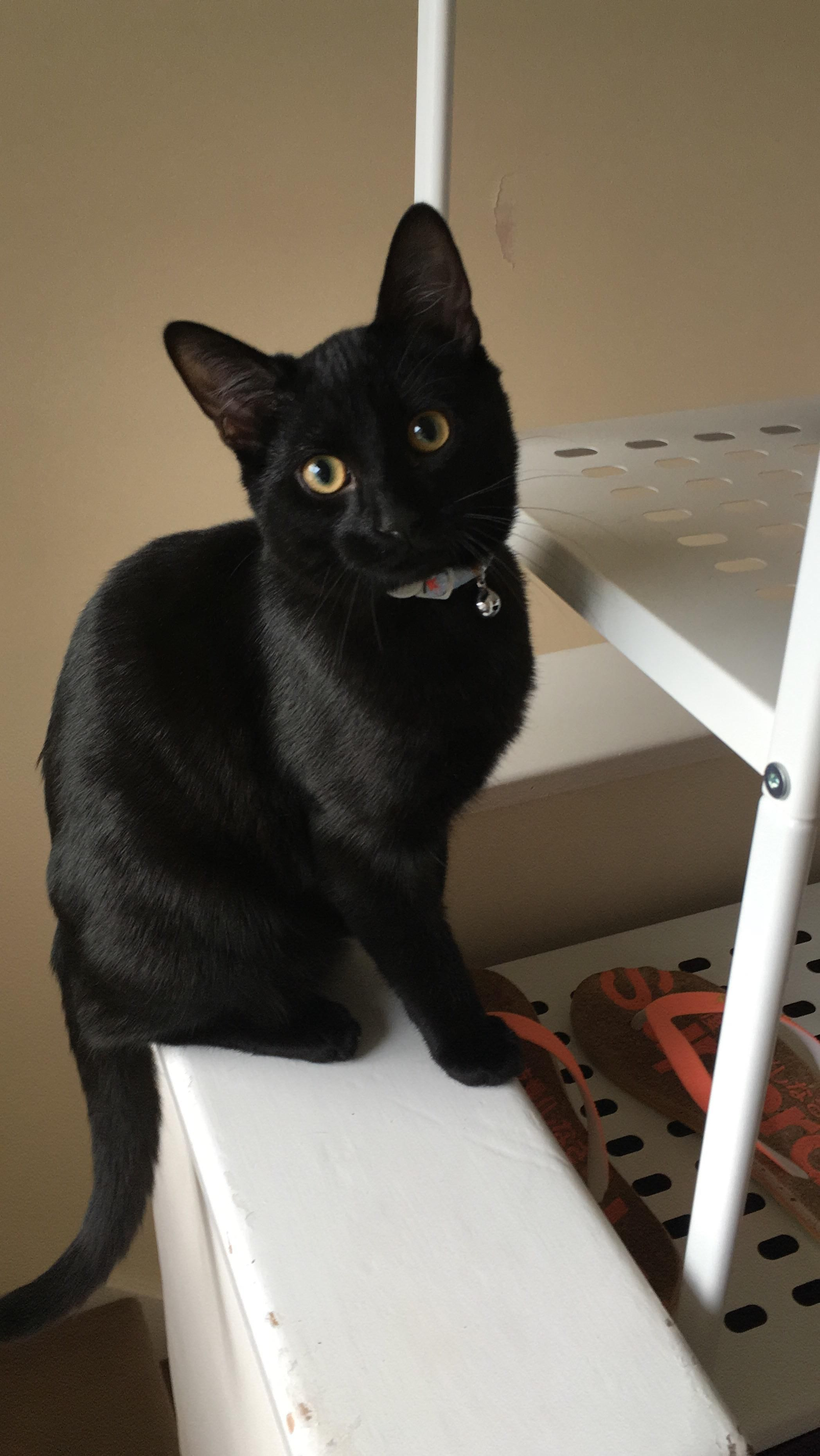 Black cat with Golden eyes & a bell... (With images