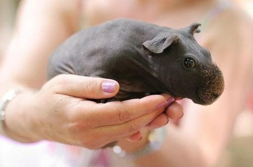 Skinny Pig, an almost hairless breed of Guinea pig.