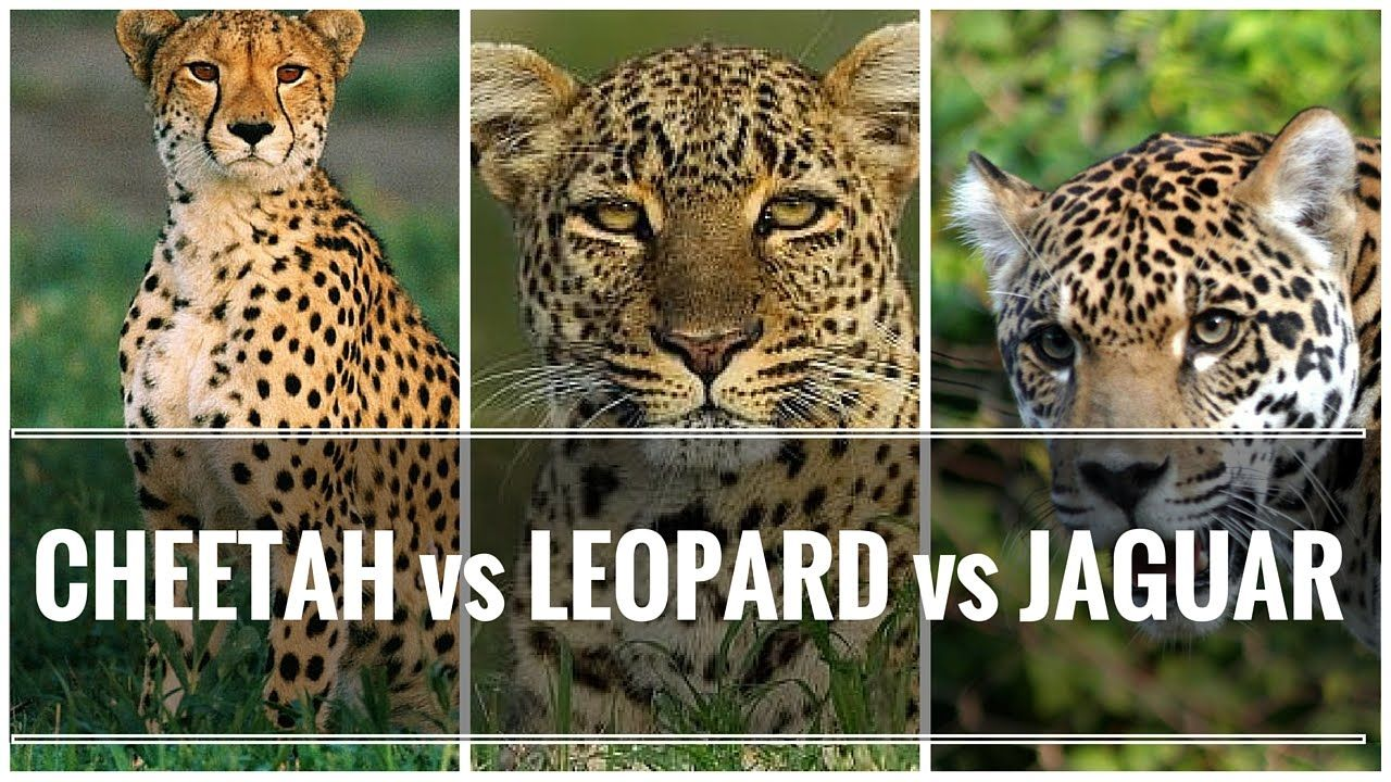 What is the difference between a cheetah from a leopard