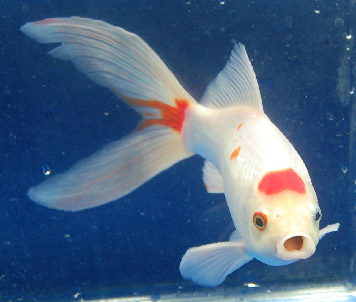 Goldfish another cute sarrasa comet goldfish for the for Fish pond aquarium