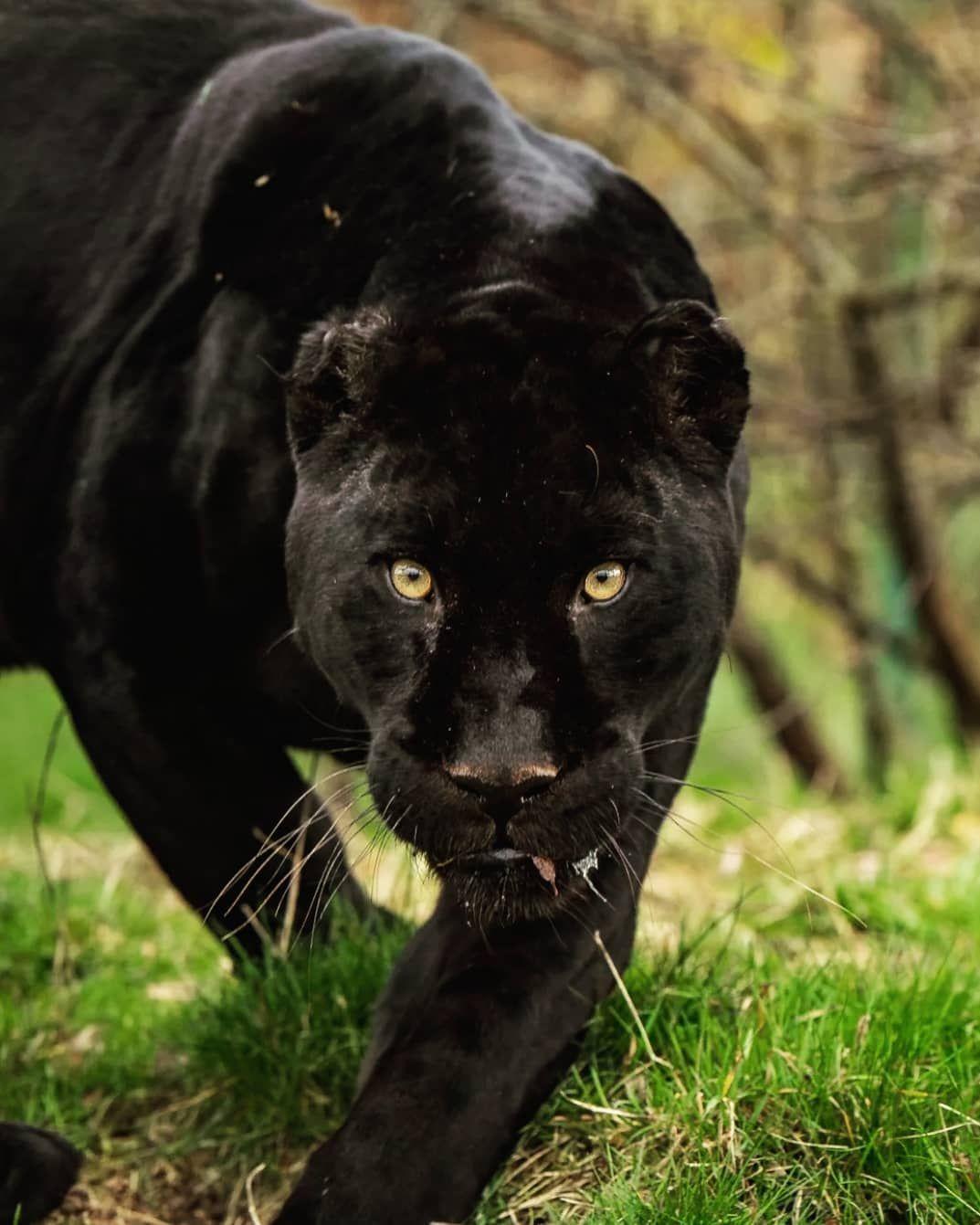 Wildlife Animals Nature On Instagram Photography By C Colin Langford Black Jaguar Series Taken At The Big Cat Sanctu Black Jaguar Cat Sanctuary Animals