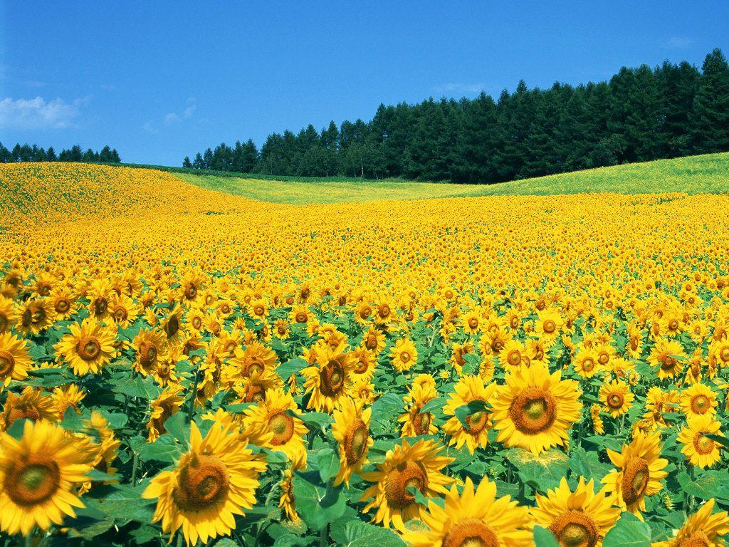 Gambar Bunga Matahari [Flowers and Gardening Ideas] Tags Bunga ...