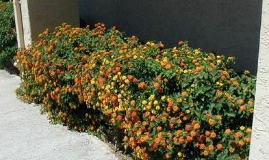 Easy Desert Plants Lantana
