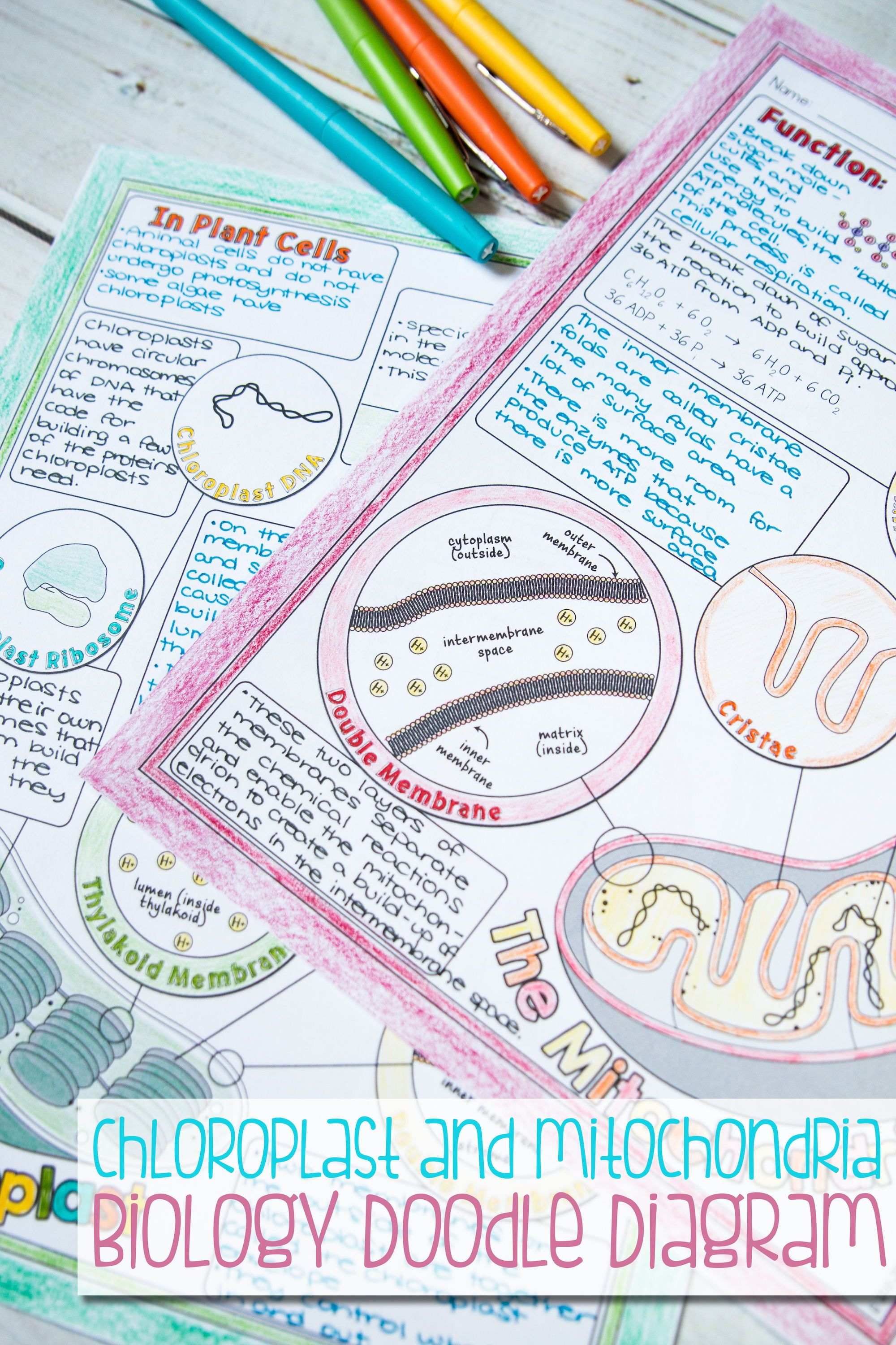 Chloroplasts And Mitochondria Worksheet Answers