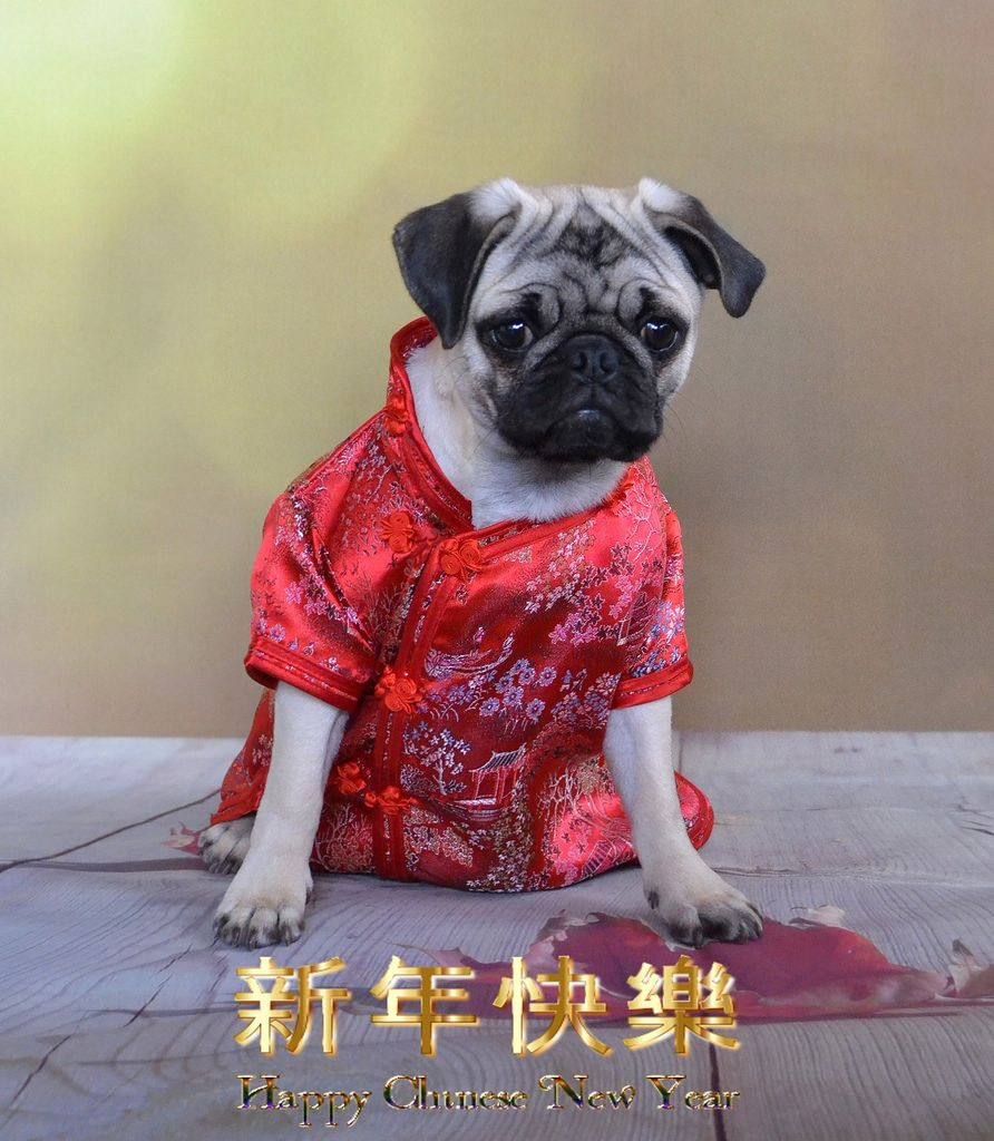 Happy Chinese New Year Cute Pugs Chinese Dog Pugs