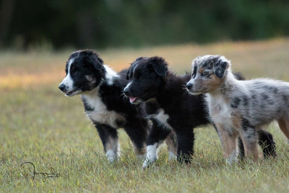 Little Border Collies Cute Dogs Breeds Dog Friends Cute Animals