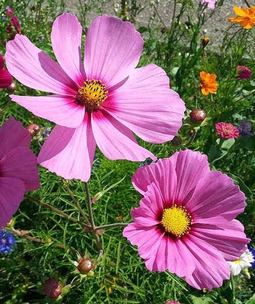 Radiance Cosmos Flower Seeds Annual Flowers Flowers