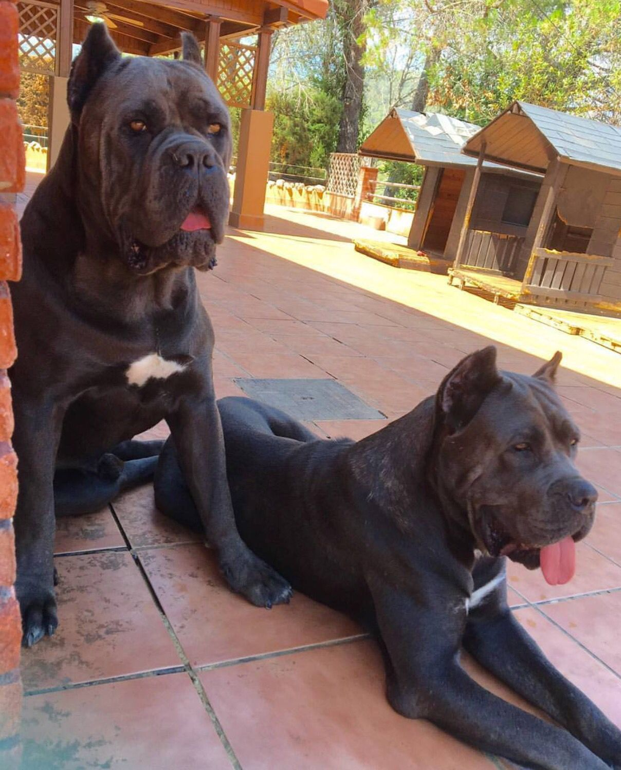 Cane Corso With Images Big Dogs Beautiful Dogs Cane Corso