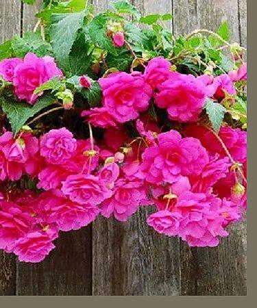 Begonia Pink Pendula Dahlia Barn Flower Seeds Hanging Baskets Plants For Hanging Baskets