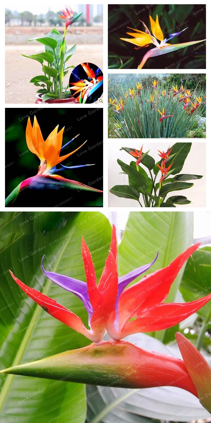 Visit To Buy Hot Sell Strelitzia Reginae Seeds Indoor Potted Plant Flowers Bird Of Paradise Seed Easy T Easy To Grow Flowers Growing Flowers Planting Flowers