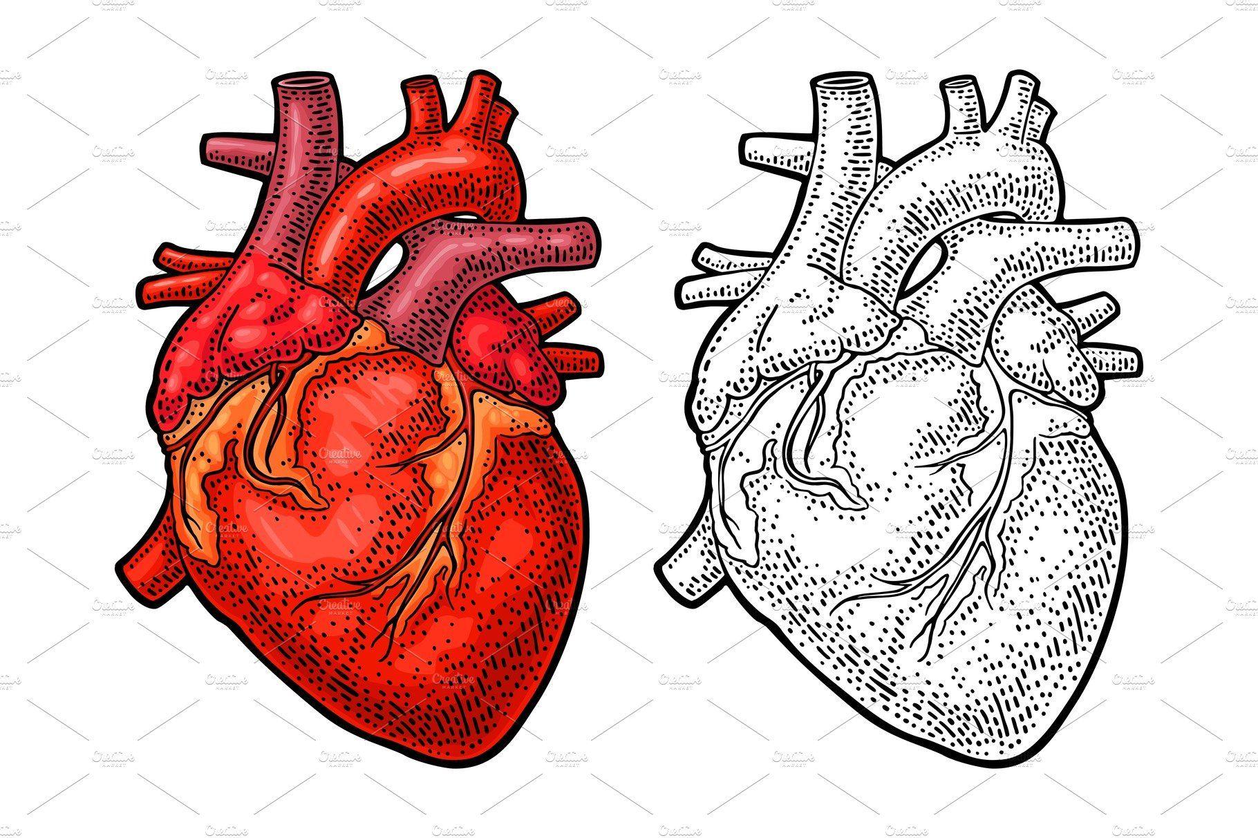 Human Anatomy Heart Vector Color Human Heart Drawing Engraving Illustration Human Anatomy Drawing