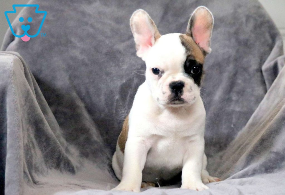 Prince French Bulldog Puppy For Sale Keystone Puppies