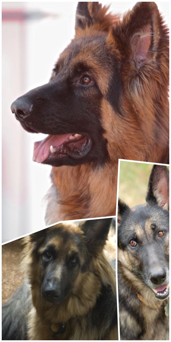 It S Time Gsd Rescue German Shepherd Breeders Near Me With Images German Shepherd Dogs Gsd Rescue German Shepard