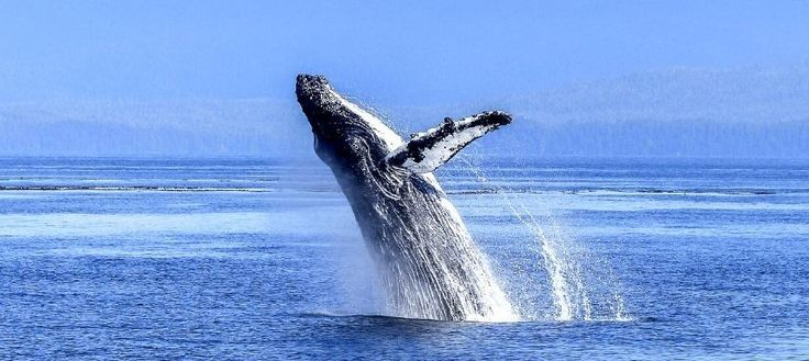 Así son las 'manos' que las ballenas tienen ocultas en sus aletas
