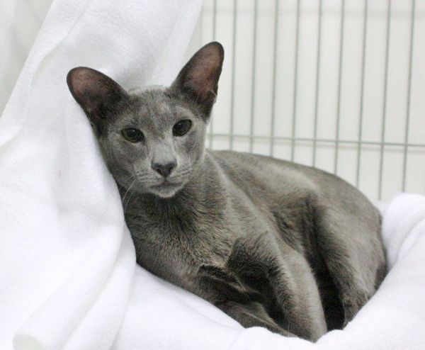 Oriental Kittens For Sale | Oriental cat, Oriental and Siamese