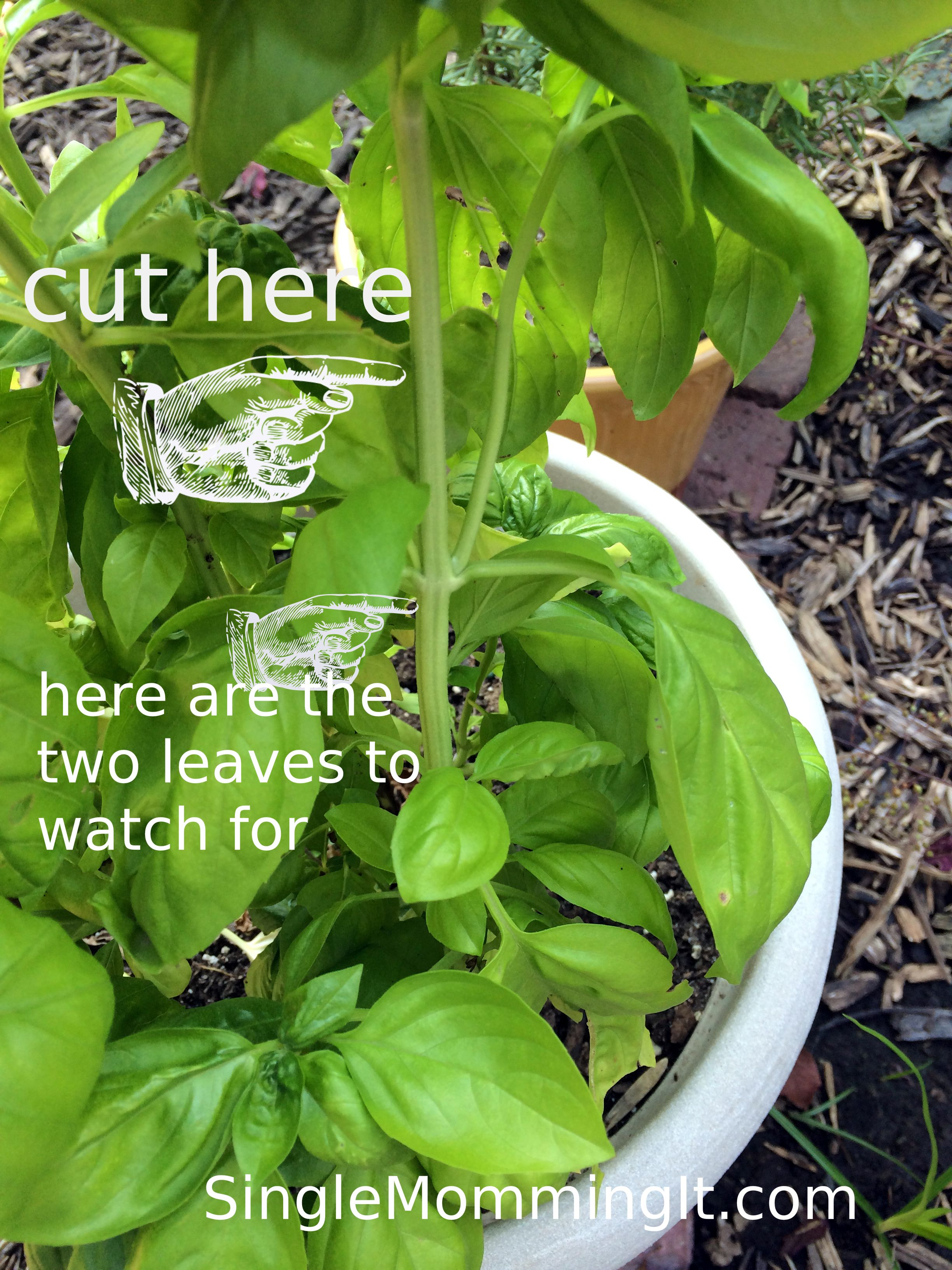 How To Care For Your Basil Plant Albahaca Cuidados Huerto Organico Plantas Jardin