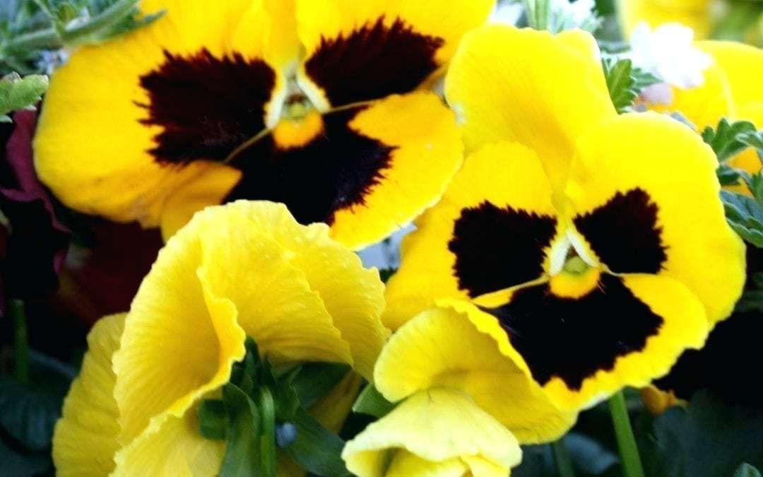 Pansies Flowers Winter Early Planting Means More Pansy Edible Winter Pansies Pansies Flowers Spring Flowering Bulbs