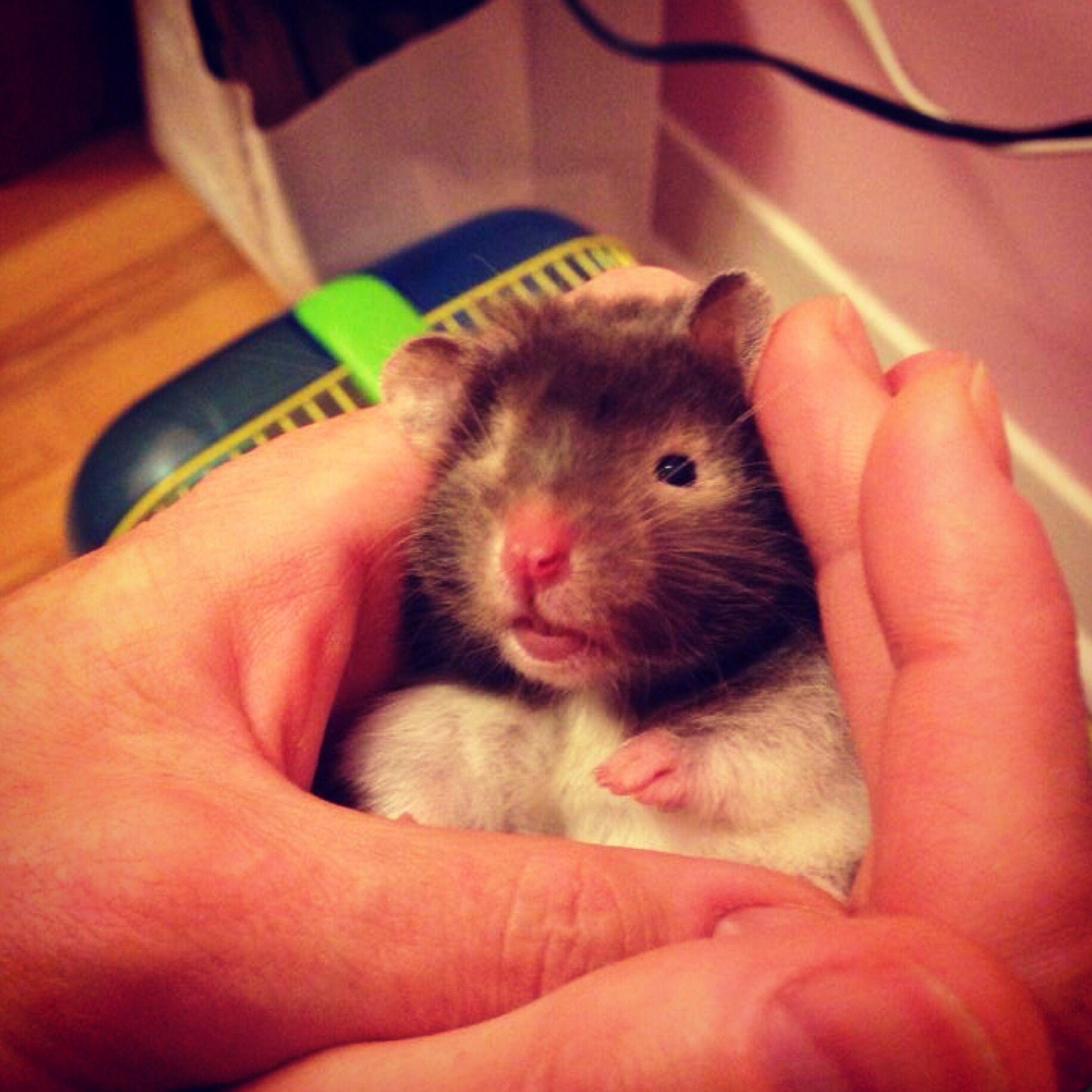 Teddy bear hamster phoebe :) | Hamsters and mice | Pinterest
