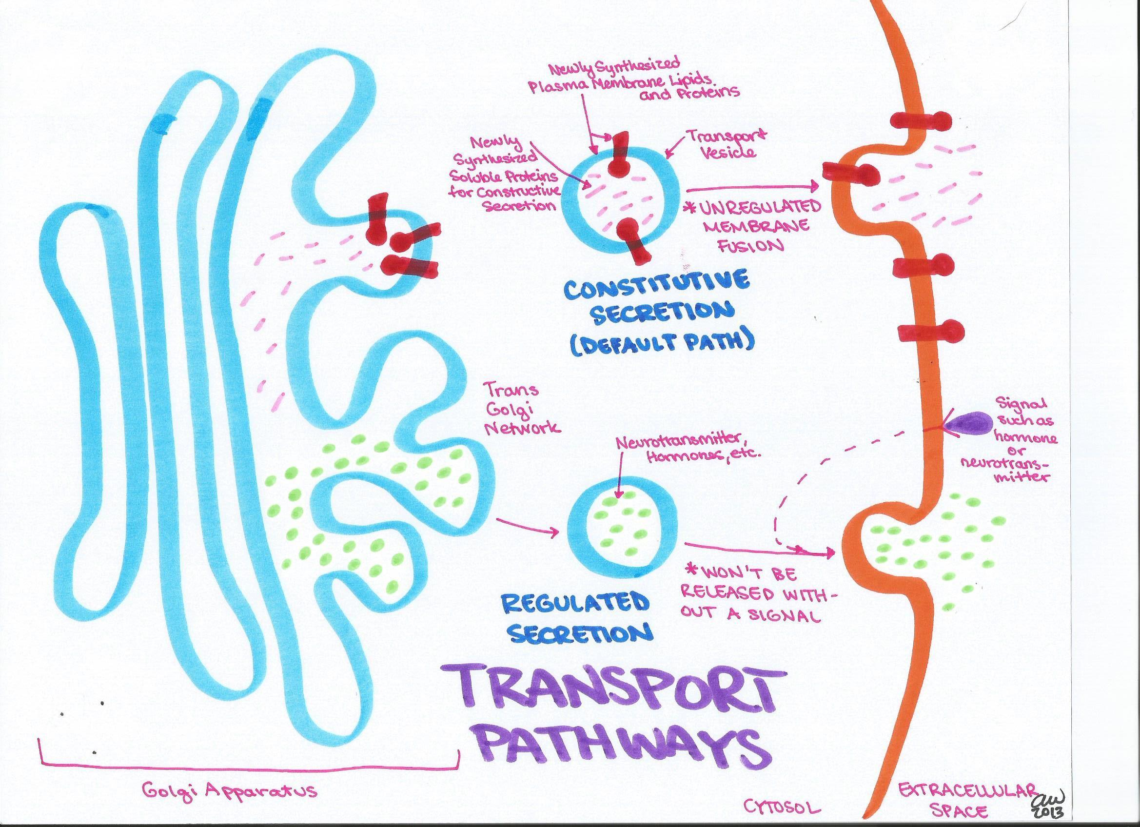 transport-pathways.jpg (2338×1696) | Anatomy | Pinterest | Cell ...