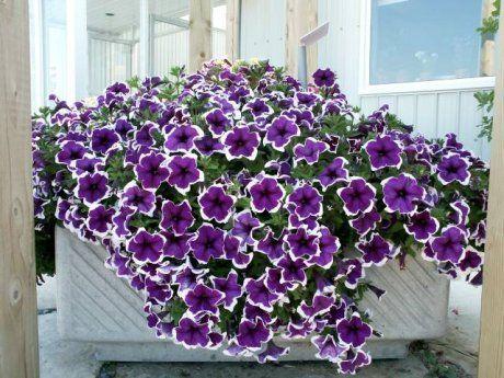 Petunie I Surfinie Kwiaty Na Tarasy I Balkony Zahrada