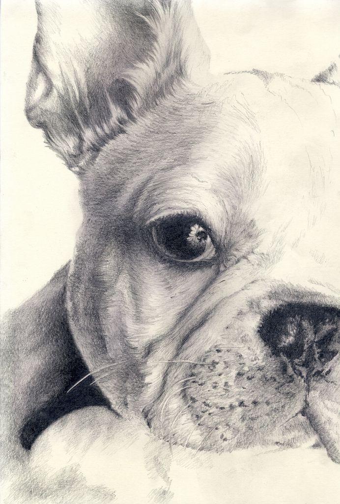 Sketch 184 Dibujos De Animales Realistas Bulldog Frances Dibujo