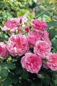 "Hyde Hall      David Austin® English Roses  Tall in stature and suitable for the background this tough, reliable rose has rosette shaped 3"" flowers (petals 55) of medium pink with a mild fruity fragrance. Unlike other larger shrub roses it has the ability to bloom with great frequency throughout the season. Works well as a boundary hedge or screen."