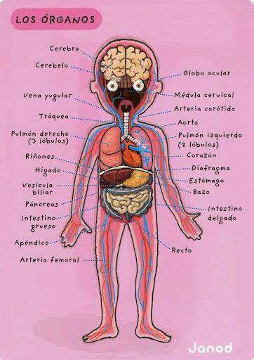 Organos - cuerpo | Salón de clases | Pinterest | Cuerpo, Cuerpo ...