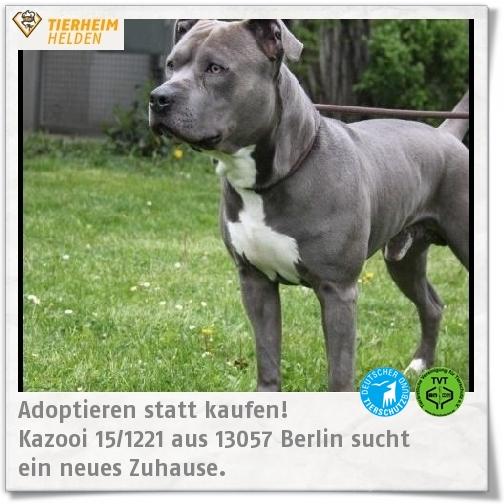 Kazooi Ist Ein Fundtier Und Zeigt Sich Sehr Menschenbezogen Http Www Tierheimhelden De Hund Tierheim Berlin Staffordshire Mix Kazooi Animals Dogs Pitbulls