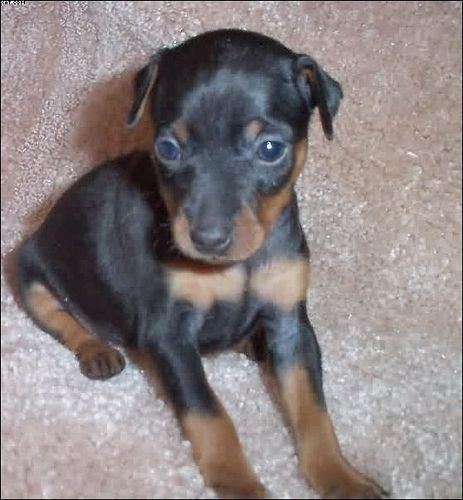 Toy King Canada Black And Rust Female Miniature Doberman Pinscher