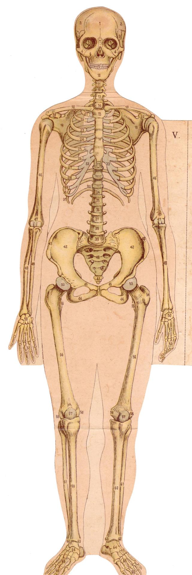 Anatoref Anatomy Illustrations From Late 19th Century