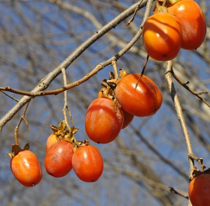 Saijo Asian Persimmon Diospyros Kaki Saijo Is An Orange Conic Shaped Fruit The Skin Of The Fruit Has No Cracks The Fruit Is Usually Seedless And Cay Hoa