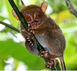 The Philippine tarsier, Tarsius syrichta, is the focus of a study on its ultrasonic mode of communication.