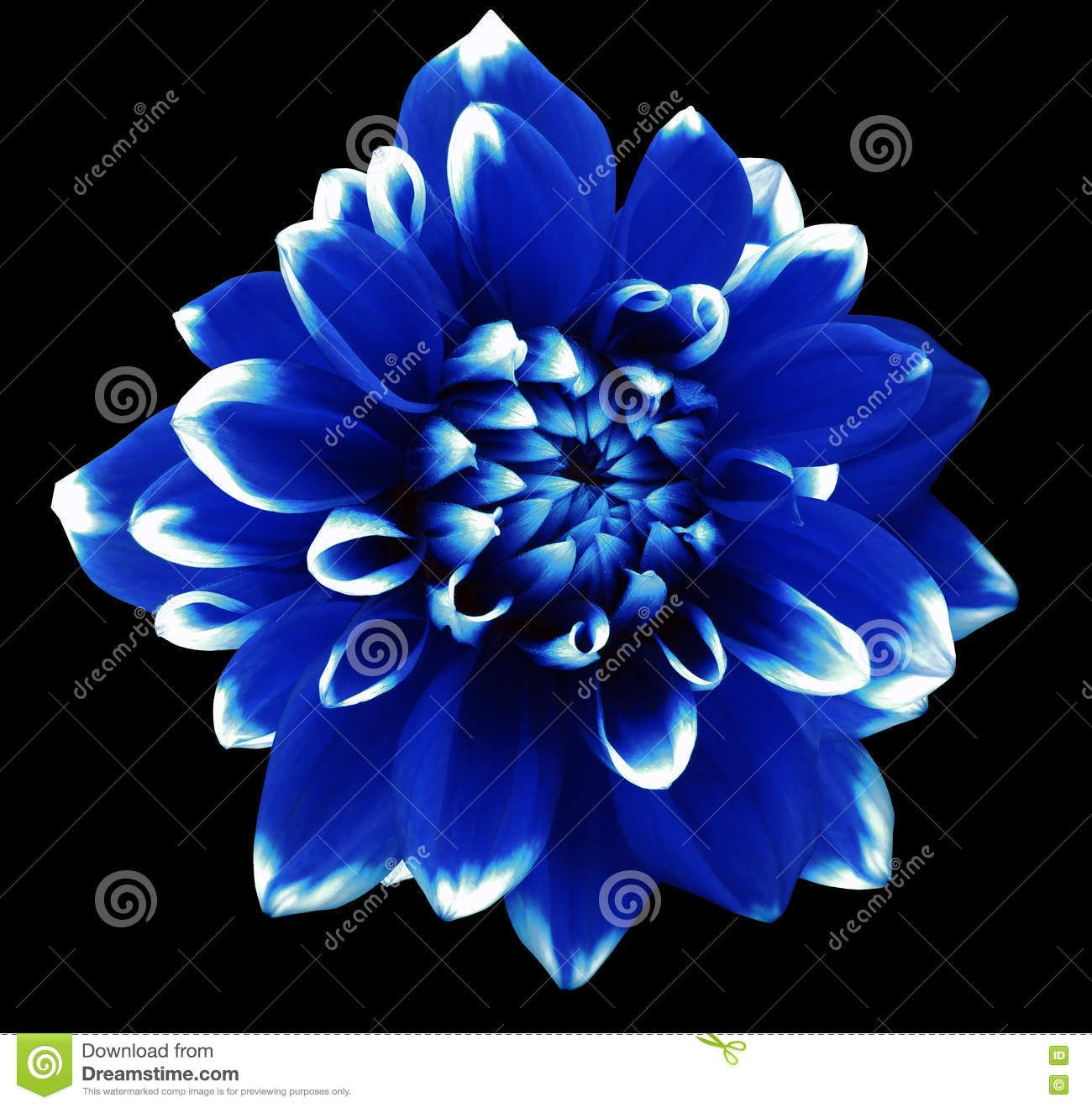 Flower Blue And White Motley Dahlia In 2020 Blue And White Flowers Dahlia Flower